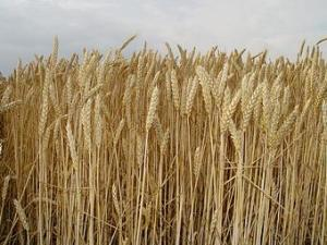9706-stock-photo-sky-field-grain-grain-wheat-cornfield
