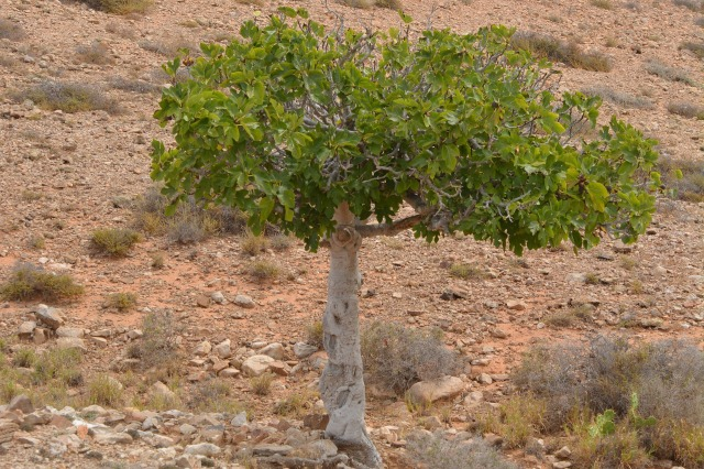 fig-tree-900320_1920